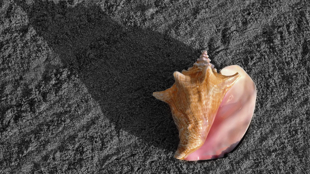 pink shell on black beach